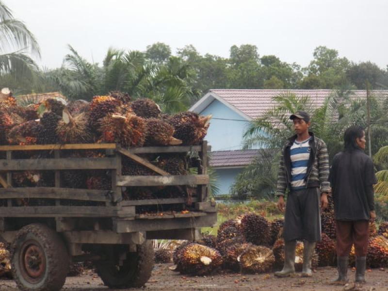 Petani Sawit Kecil Masih Terlilit Banyak Masalah