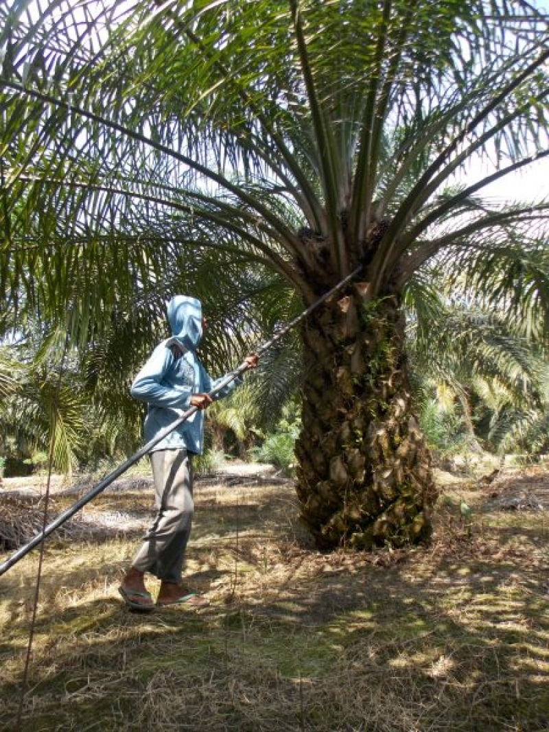 Harga Sawit Turun, Petani di Muarojambi Bingung Cari Utang