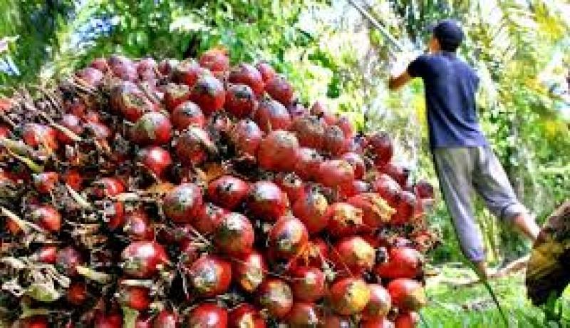 Kelapa Sawit: Bersahabat dengan Lingkungan!
