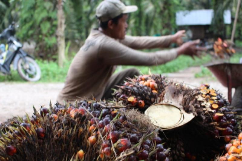 Lagi Musim Trek Harga Sawit Turun, Dinas Perkebunan Bungo Sarankan Petani Buat Koperasi