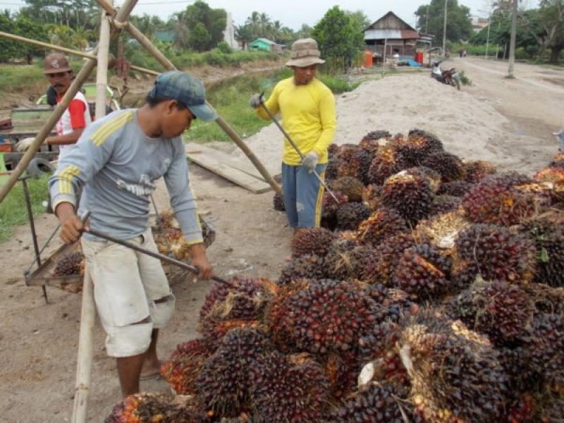 Peluang TBS Sawit Petani Dijual Langsung ke Pabrik Biodiesel