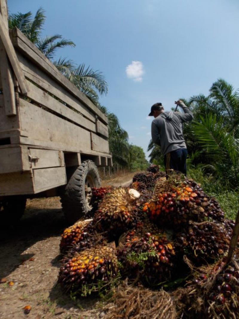 Harga TBS Sawit Anjlok Akibat Perang Dagang, Petani Membutuhkan Solusi Sekarang dari Pemerintah