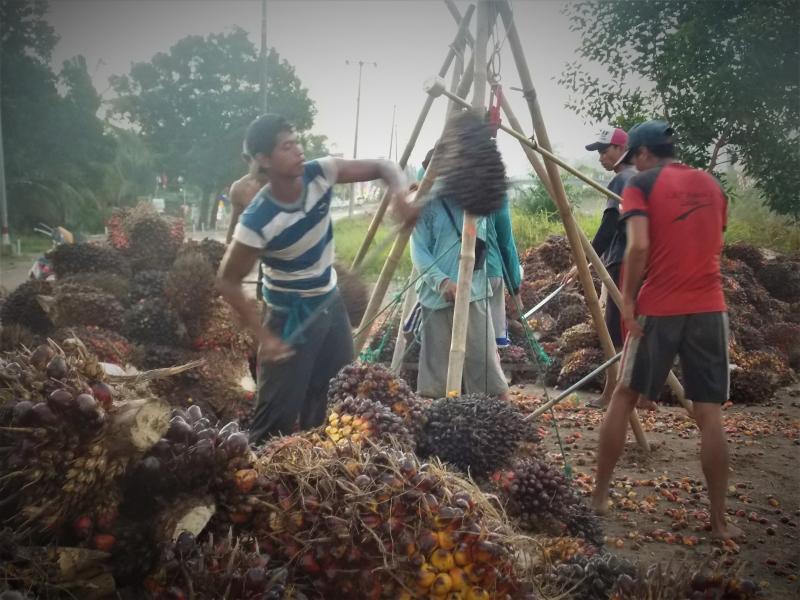 108 Tahun Berekspansi di Indonesia, Nasib Petani Sawit di Indonesia Memprihatinkan
