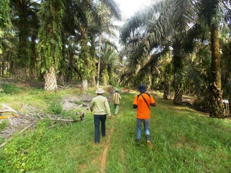 Target Replanting Sawit 185.000 Ha Tidak Tercapai