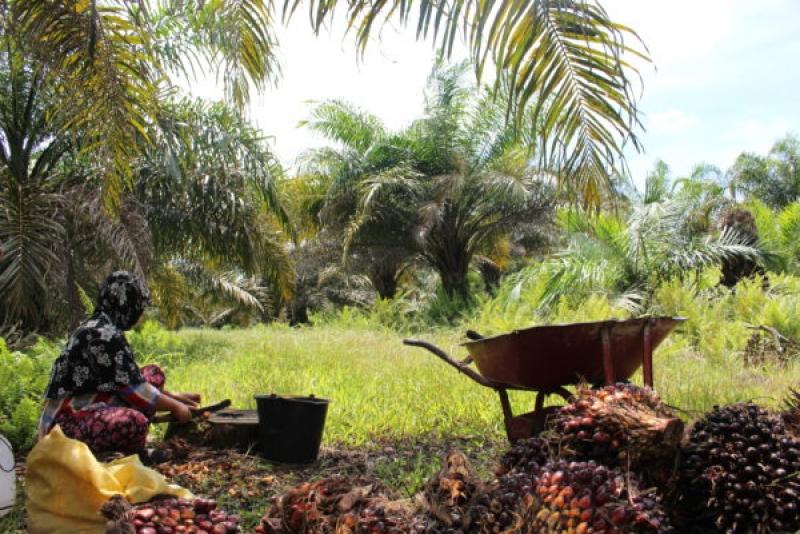 Peremajaan Kebun Sawit : Petani Sawit di Sumsel Kesulitan Penuhi Persyaratan