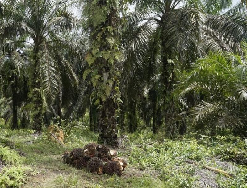 Kebijakan Satu Data Kelapa Sawit Indonesia, Petani Sawit Harus Segera Didata