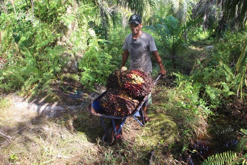 SPKS, Peremajaan Sawit Rakyat bisa Memperkuat Aspek Sustainability Kelapa Sawit Indonesia