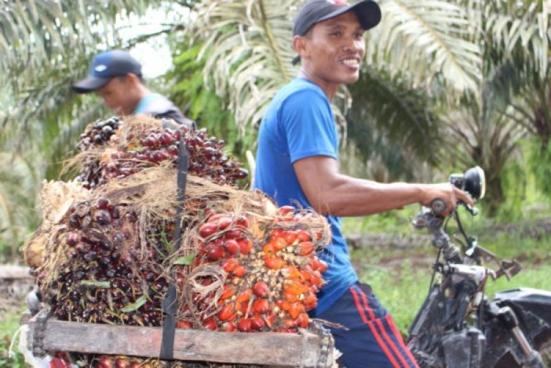 Pengelolaan Dana Bantuan Dinilai Tidak Efektif dalam Membantu Petani Kecil Sawit