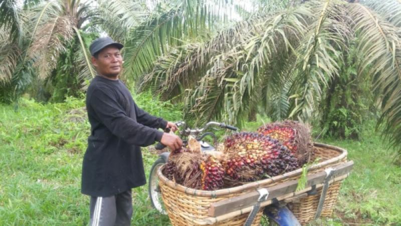 SPKS Tegaskan ISPO Jangan Sampai Kerdilkan Sawit Indonesia