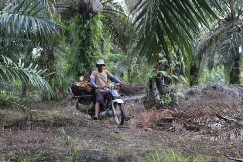 Ribuan Lahan Sawit di Banyuasin Bakal Diverifikasi